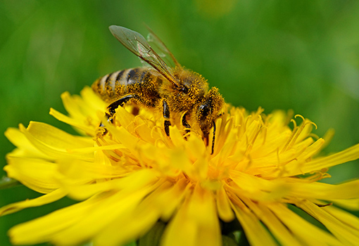Bee collects pollen on a dandelion flower