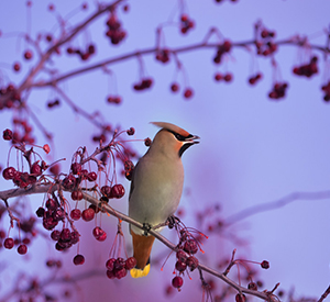 Waxwing perched on a branch of fruit tree