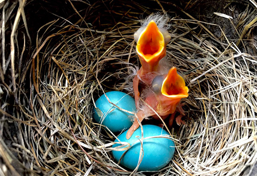 Two baby robins just hatched