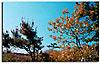 Pitch Pine-Scrub Oak Barrens